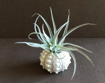 Air Plant with Large Sputnik Urchin Plant Holder