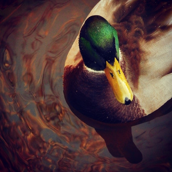 mallard duck on the river kelvin