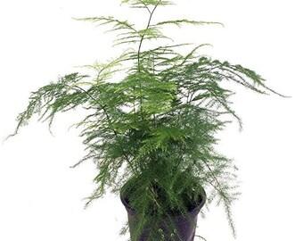 """Fern Leaf Plumosus Asparagus Fern - 4"""" Pot"""