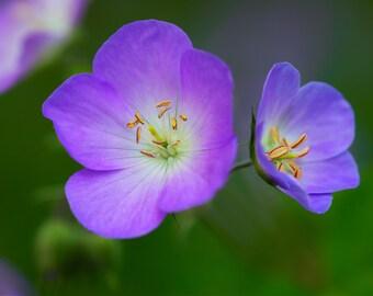 "Purple Flower Print, Purple Wildflower Art, Purple Wildflower Canvas Wrap, Purple flower, ""Purple Petals"""