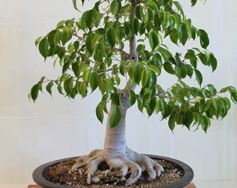 300 Ficus benjamina Seeds, weeping fig, benjamin fig,Ficus tree Seeds,