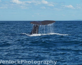 The tail of a Sperm Whale diving off the coast of Kaikoura, New Zealand - Photo