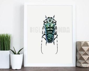 CALLOPLOPHORA SOLLII Beetle Illustration