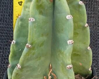 Blue-ish Peruvian Cactus-Succulent