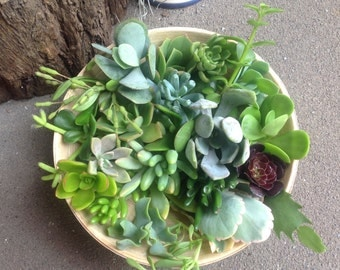 Mixed Succulent Cuttings X 25