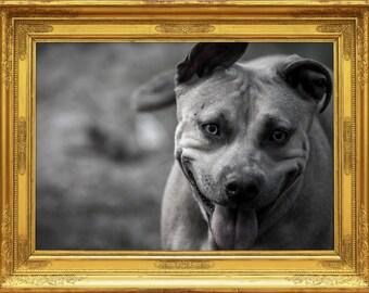 Pet Portraits Pit Bull