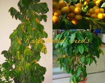 UNUSUAL!! Dwarf Yellow Coffee tree! 'Yellow Cherry' grows to 3-5' in POT! seeds.