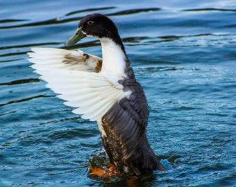 Nature Photography, Duck Print, Lake Print, Duck Photography, Wall Art, Home Decor, Poster, Prints