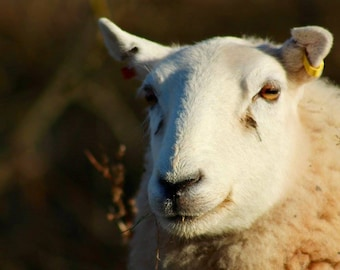 Welsh sheep/gift card/canvas/photography/prints/sheep photography/animal photography