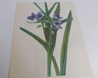Vintage Botanical Print - Spiderwort & Golden Club 8x10