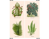 NA189-192 Artistic Ephemera Nature Print - One 8x10 or Two 5x7s - Exotic Flowering Plant, Pellionia Pulchra, Holly & Prickly Shield Fern