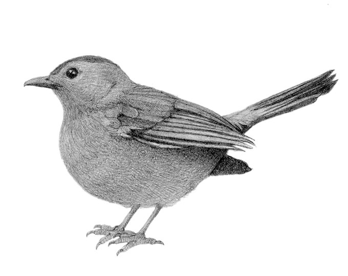 Bird Drawing Original Art Pencil Black and White Nature Cute