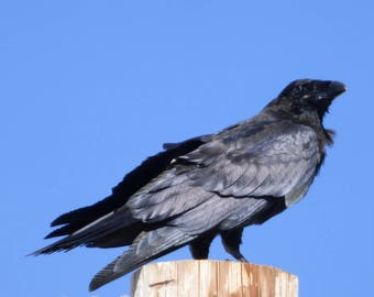 the sure-eyed raven - digital photography download - instant download, raven, corvid, phone pole