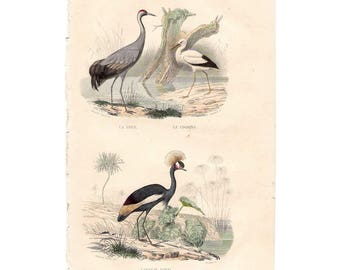 Lovely French antique Buffon hand-tinted print