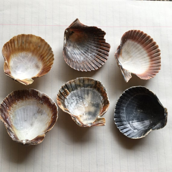 Shells for crafting or home decor from narceine on etsy for Shells decorations home