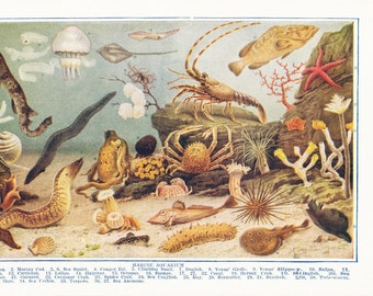 1920s Sea Print - Marine Aquarium - Vintage Antique Art Illustration Book Plate Natural Science Great for Framing 95 Years Old