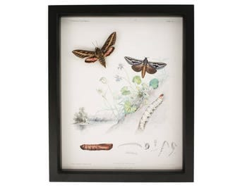 Real Framed Moth Taxidermy with Victorian Life Cycle Print Display