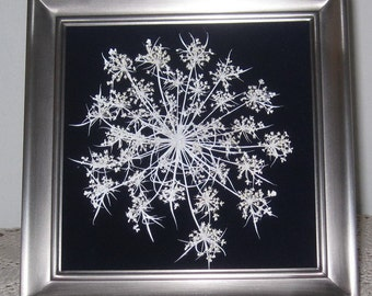 "Queen Annes Lace ""snowflake' on blue velvet in 5x5 pewter frame"