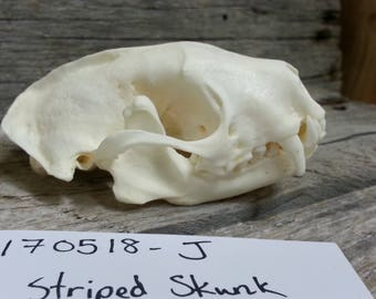 Striped Skunk Skull - Collector Quality - Mephitis mephitis - Lot No. 170518-J