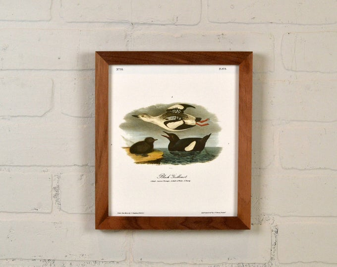 """Framed Audubon Bird Print """"Black Guillemot"""" Full Color Reproduction - Solid Natural Walnut Peewee Style - IN STOCK - Same Day Shipping"""