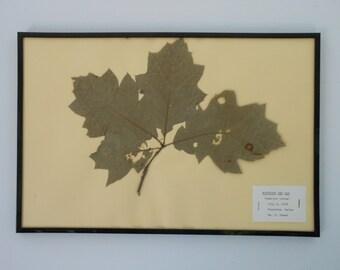 Vintage 1968 botanical specimen by Maine arborist - Northern Red Oak