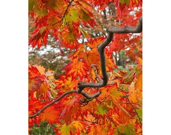Fine Art Color Nature Photography of Fall Foliage on a Japanese Maple in Transition in a Japanese Garden