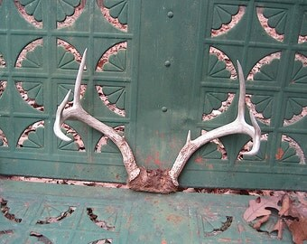 7 Point White Tail Deer Antlers