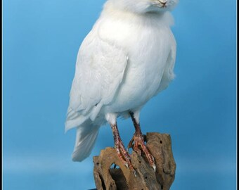 taxidermy of rabbit head and pigeon  freak rabbit ,made by Real rabbit and pigeon ,free shipping to everywhere