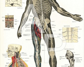 """Nervous System Anatomy Poster Plate 7 - 24"""" X 36"""""""
