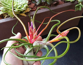 Air plant - Bulbosa Belize - Bud - Flower - Bulbosa air plant -  Diy projects - Terrariums - Moss - diy projects - Holiday gift
