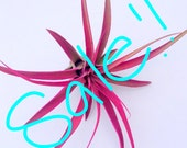 Hot Pink Capitata WHOLESALE SALE!!! Limited Time offer