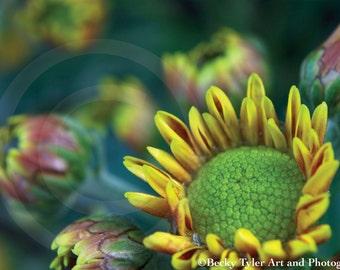 Chrysanthemum Macro Fine Art  Photo Print