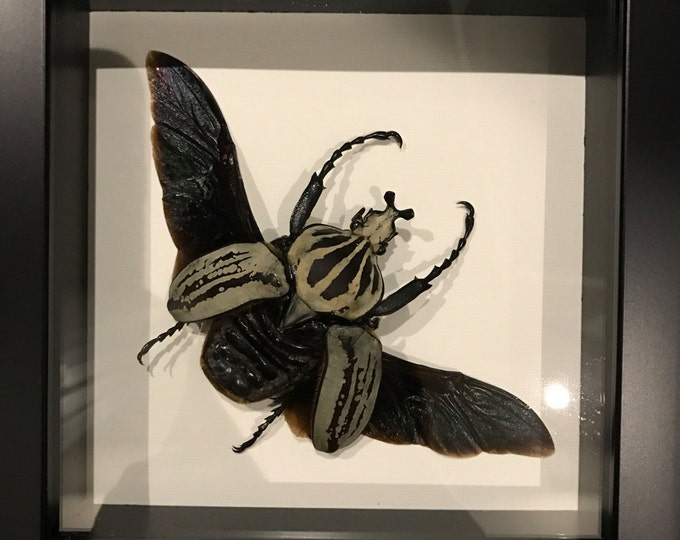 GIANT real taxidermy flower beetle display