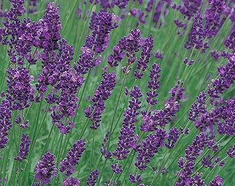 HL) MUNSTEAD LAVENDER~Seeds!!!~~~~~~~~~~~Wildly Fragrant!