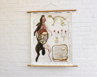 Mid Century Dutch Anatomical Chart Of The Rabbit