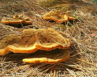 Digital Photo for download of Mushrooms and Pine Straw
