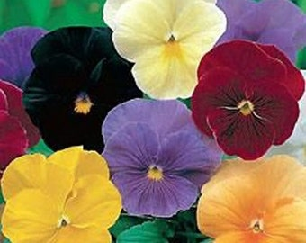 Pansy Seeds- Clear Crystal mix- 50 Seeds