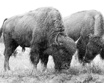 Canvas Print: Bison