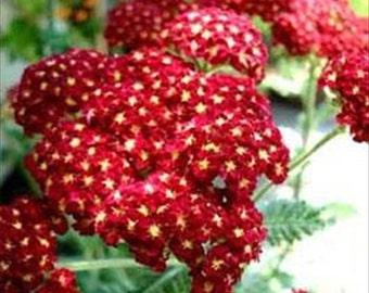 50 Seeds Yarrow Rubra Red * 50 Seeds