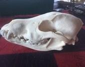Genuine alaska wolf skull (Canis lupus)