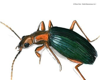 Bombardier Beetle art print, original bug drawing, insect illustration