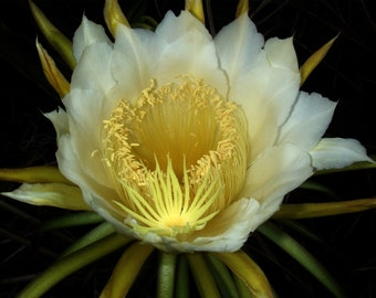 Hylocereus undatus Night blooming cereus rooted pint plant