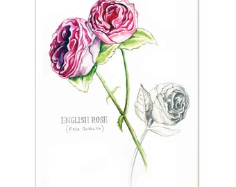 English Roses Watercolour painting - Limited edition prints (100 Only)