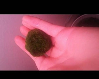 Live Marimo Moss Ball- Lizzy's Fishies