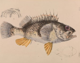 Arthur Bartholomew: Ocean Perch, Helicolenus Percoides. Fine Art Print/Poster. (004155)