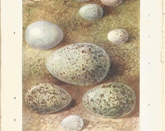 1899  bird egg print, by A Thorburn  antique bird print watercolour by a thorburn vintage bird decor