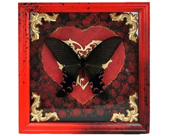Real Papilio elwesi taxidermy  preserved insect natural history framed butterfly moth entomology museum quality