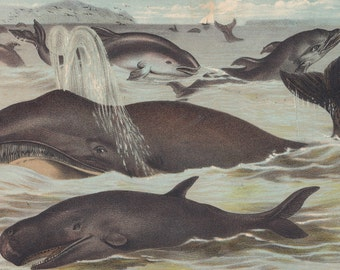 1880 Antique Print Whales Porpoise & Dolphins Sea Mammals Wildlife Animal Lithograph