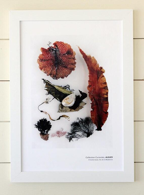 "Naturalist poster  ALGAE - 13"" x 19"""