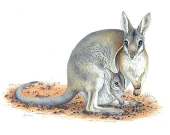 Bridled Nailtail Wallaby - Endangered species. 4 CARD SET